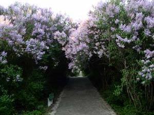 Dikanka. Lilac grove